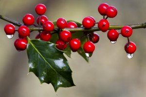 Holly Berries Ice melting